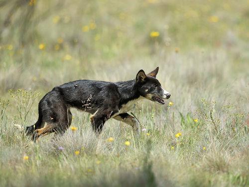 Conozca cómo Australia pretende prevenir y subsanar los daños causados por perros salvajes