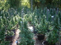 La tendencia a autorizar el uso medicinal de cannabis en las Américas
