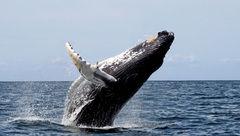 Estudio de la Universidad de Queensland alerta sobre lenta recuperación de ballenas en el mar austral